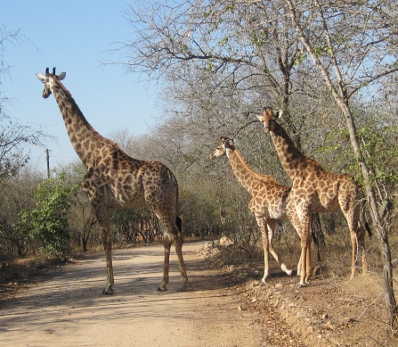 My friend and I were stopping to take a picture, and we heard a noise behind us. We were shocked and in awe to see a mama giraffe with her two babies. Priceless moment (especially when Kristina was urging me to get back in the car)